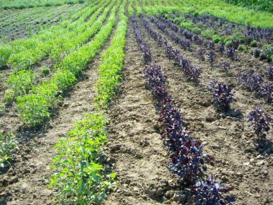 culturi-eco-busuioc-lavanda