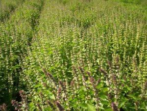 culturi-eco-busuioc-3