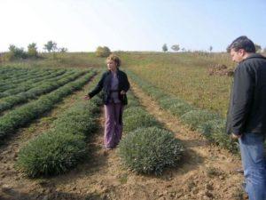 culturi-bio-cercetare-salvie3