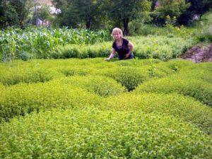 culturi-ecologice-cimbru