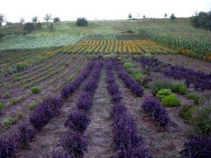culturi-ecologice-lavanda