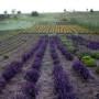 culturi-bio-lavanda