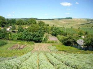 culturi-ecologice-salvie-1