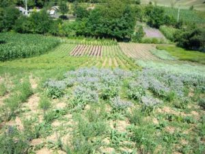 culturi-ecologice-salvie-2