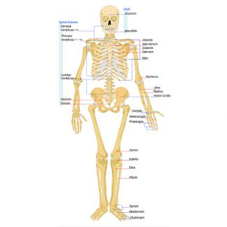 Suplimente nutritive - Sistem osos