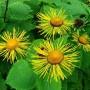 iarba-mare-inula-helenium