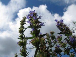 Isop - planta sfanta