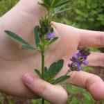 lucerna-floare