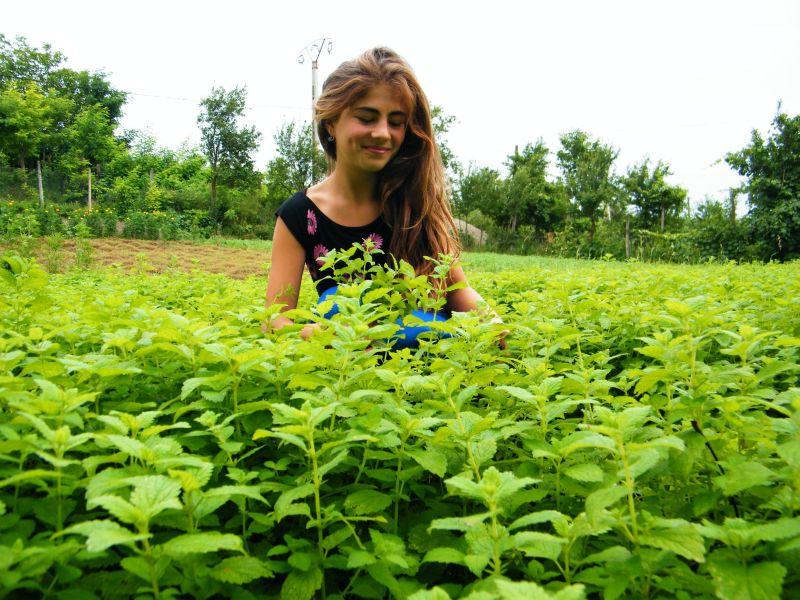 culturi-ecologice-melisa-officinalis