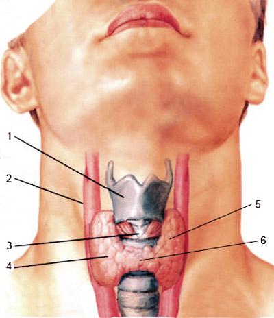 vedere și glanda tiroidă