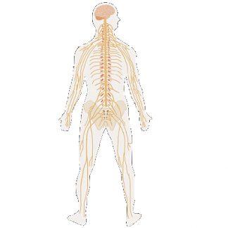 Suplimente nutritive - Sistem nervos
