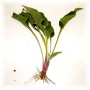 Butasi de Echinacea ecologica