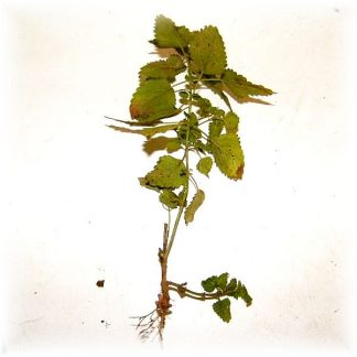 Butasi de MELISA ecologica Farmacia Naturii