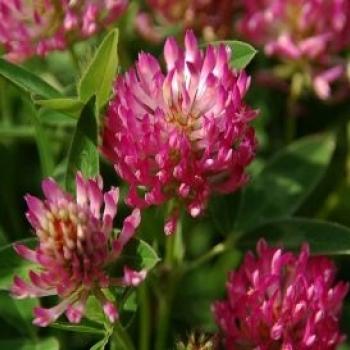 trifoi-rosu-trifolium-pratense-verde