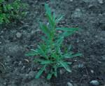 Artemisia dracunculus-TARHON