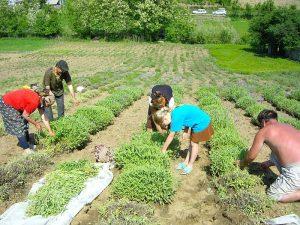 cultivarea-plantelor-medicinale