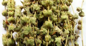 ceai-de-sideritis-ecologic
